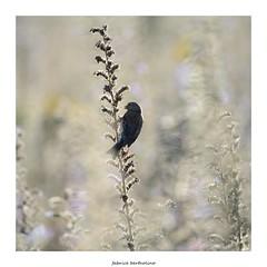 Mlodie du matin (bertholino fabrice) Tags: bird nature nikon bokeh wildlife tamron oiseau environnement tlobjectif nikond600 linottemlodieuse baiedesaintbrieuc passereau capturenx2 fabricebertholino tamron150600f63