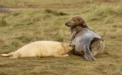 3B4A2139 (Janet-Hedger) Tags: seals donnanook janethedger