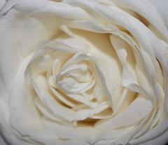 In memory of Sir Terry Wogan (Anita K Firth) Tags: 2 white flower rose radio rip cancer bbc terry passing sir wogan terrywogan janetandjohn