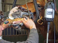 P1290045 (gill4kleuren - 11 ml views) Tags: horse sarah bezoek dentist haflinger tandarts anisia