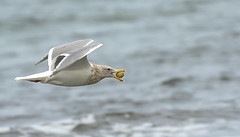 "wah wah...I know I""m always wishing for a bit more light (island deborah- nature website deborahfreeman.ca- ) Tags: beach seagull clams qualicum"