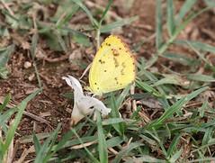 Little Yellow (Pyrisitia lisa), Soplillar, Cuba  1/13/16 (abcdefgewing) Tags: yellow lepidoptera pieridae