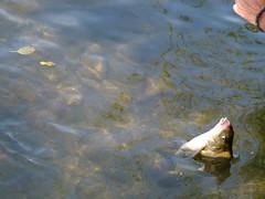 Upecana riba (Coka M) Tags: france sur poisson loin riba moret fich pecanje francuska ribolov upecana