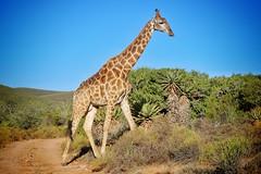 Mr Giraffe (KEA60) Tags: southafrica safari giraffe buffelsdrift