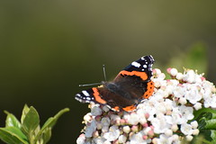 A Red Admiral butterfly  - Vanessa atalanta (Kotsikonas Elias) Tags: animal butterfly insect bokeh outdoor athens greece autofocus
