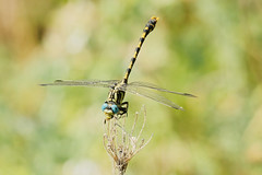 Large Pincertail 2 (Bill Kirby1) Tags: france dragonfly languedoc invertebrate 2015