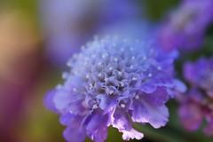 スカビオサ コーカサス/Scabiosa caucasica (nobuflickr) Tags: flower nature japan kyoto 日本 花 thekyotobotanicalgarden scabiosacaucasica 京都府立植物園 スカビオサ awesomeblossoms コーカサス松虫草 まつむしそう科まつむしそう属 20160114dsc08559