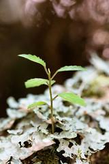 Plante sur lichen en fort tropicale (zambaville) Tags: macro canon plante eos is lichen usm fort proxy flore tropicale f28l ef100mm lesquelin 5dsr