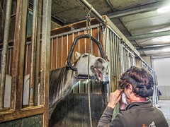 P1290080 (gill4kleuren - 11 ml views) Tags: horses dentist haflinger tandarts 2015 hengst