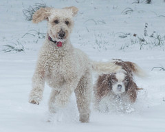 Romping (sbluerock) Tags: dog ginger banjo flickr snow 21365 project365