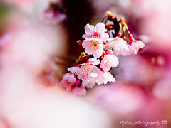 () Tags: park travel pink flowers trees light sky white plant flower macro tree castle nature japan garden cherry spring blossom bokeh blossoms sigma olympus apo  cherryblossom  sakura cherryblossoms  f28 cherrytree e30 cherrytrees    cherryblossomfestival     150mm sigma150mmmacro  sigma150mmf28  150mmf28 sigmamacro150mmf28  sigmaapomacro150mmf28