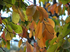 starr-061225-2925-Diospyros_kaki-fall_colors_leaves-Olinda-Maui (Starr Environmental) Tags: diospyroskaki