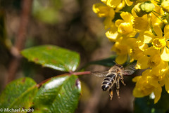 Bee approaching (greenbrainarc1) Tags: summer flower nature yellow photo foto blossom sommer sony natur picture bee blume blte approaching biene a230 landeanflug sonya230 summer2015 sommer2015