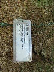 starr-091104-0983-Castanospermum_australe-plant_tag-Kahanu_Gardens_NTBG_Kaeleku_Hana-Maui (Starr Environmental) Tags: castanospermumaustrale