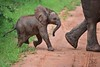 Baby Elephant always in the shadow of mama