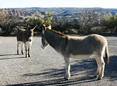 parking lot visitors 2-3-16 verdecanyonrr (EllenJo) Tags: arizona donkeys canonrebel burros equine digitalimage verdevalley clarkdale 2016 february3 ellenjo ellenjoroberts winterinaz lifeoutwest