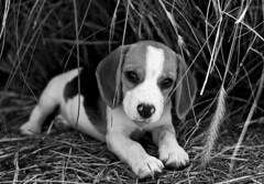 Pipa (Mario Iturri M.) Tags: portrait dog beagle puppy 50mm nikon retrato perro cachorro resting nikkor laying puppie d7100