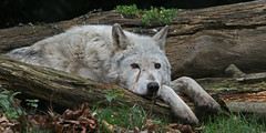 Logged Off (Gary Wilson แกรี่ วิลสัน) Tags: park camera wood ireland wild dublin dog nature phoenix beautiful animal gardens digital canon lens mammal photography eos grey zoo photo wolf europe flickr foto natural image zoom timber wildlife snapshot gray picture canine off lookout telephoto lazy 7d species lobo endangered creature lupus ruff wolves carnivore watchdog intelligent ferocious phoenixpark offduty greywolf canis dublinzoo zoological adogslife logged canislupus canid 100400l zoologicalgardens graywolves eaza baileathcliath loggedoff