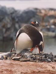 1998_01_18_01 (petermit2) Tags: penguin gentoo antarctica chick antarctic gentoopenguin portlockroy antarcticpeninsula explored wienckeisland wiencke goudierisland palmerarchipelago