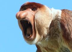 Scream Therapy (Ger Bosma) Tags: male asia borneo scream screaming proboscismonkey nasenaffe longnez nasique nasalislarvatus neusaap largenose bekantan monyetbelanda orangbelanda mononarigudo longnosedmonkey dutchmonkey singeàtrompe mononásico 2mg58438zz