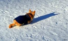 Batdog. (Papa Razzi1) Tags: winter dog chihuahua february batdog 2016 melker 6694 59365 svartpotten