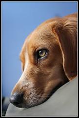 *beautiful beagle...*arya* (^i^heavensdarkangel2) Tags: pet beagle closeup canon colorado arya pagosasprings furryfriend heavenlycreatures colorfulcolorado furryangel heavenlyfamilyfriends desbahallison aryaallison