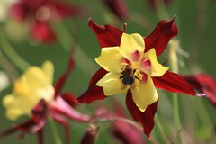 Bee Calm (Heaven`s Gate (John)) Tags: red england plant macro green nature topf25 sunshine yellow closeup botanical outdoors petals bokeh clinton calm bee aquilegia nationaltrust baddesley 25faves johndalkin heavensgatejohn naturewatcher