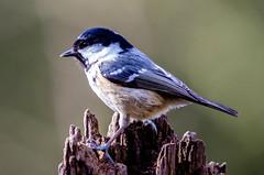 Coal Tit (periparus ater) (phat5toe) Tags: nature birds nikon wildlife feathers penningtonflash avian wigan flashes coaltit periparusater greenheart d7000 sigma150500