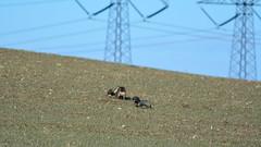 (Kenneth Gerlach) Tags: denmark mark hund dk forr vissenbjerg gravhund ruhret regionsyddanmark miniaturegravhund