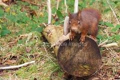 PC210854 (Snapdragon Lincs) Tags: red rural mammal squirrel wildlife ainsdale