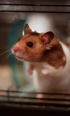 Whiskey (Sasha Smee) Tags: pet brown cute animal canon paw wire eyes innocent cream whiskey ears cage whiskers wires hamster 600dd