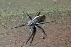 Nursery Web Spider (Procrustes2007) Tags: uk england spider suffolk britain wildlife arachnid flash sudbury closeuplens nurserywebspider wildlifephotography pisauramirabilis greatcornard nikond90 afsnikkor1855eddx d90spiders gridreftl883407