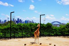 GIRAFFE @ TARONGA ZOO (dale hartrick) Tags: animals zoo sydney australia giraffe taronga tarongazoo