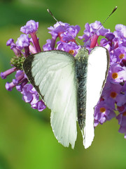 Large White (Pieris brassicae) Butterfly (Brian Carruthers-Dublin-Eire) Tags: white butterfly large lepidoptera animalia arthropoda pieris insecta largewhite pieridae pierisbrassicae brassicae pierini largewhitebutterfly pbrassicae