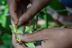 Manual pollination of Vanilla (mansi-shah) Tags: rainforest farming coorg madikeri forestecology mansishah rainforestretreat jenniferpierce ceptsummerschool
