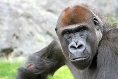 Gorille de Côte femelle (olivier.ghettem) Tags: africa valencia gorilla ape espagne primate valence afrique singe gorille femelle afriqueéquatoriale bioparcvalencia gorilledecôte