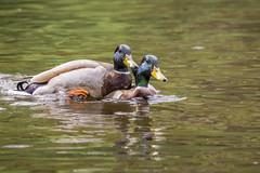 mallards (pnw_ames) Tags: bird nature animal outdoors duck wildlife mallard sonya77