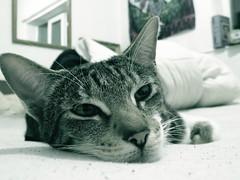 Tasha (the_gonz) Tags: family pet cute home animal cat kitten tasha