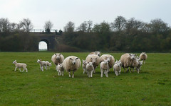 Lambs learning Grandmother's Footsteps (sianmatthews25) Tags: sheep plumtree