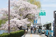 Along pavement (Wunkai) Tags: japan ditch 桜 cherryblossom sakura moat entrenchment さくら 茨城 土浦 ibarakiken 亀城公園 tsuchiurashi kijopark kijokoen