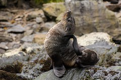 Antarctic Fur Seal Reaching The Parts Other Seals Cannot Reach (Barbara Evans 7) Tags: fur south barbara seal antarctic evans7 antarcticageorgia