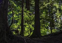 Light in the forest (Tony Tomlin) Tags: trees canada britishcolumbia crescentbeach crescentbeachbc