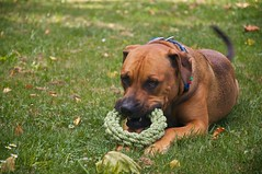 Come Play With Me! (4oClock) Tags: newzealand summer dog pet brown playing black dogs sunshine garden ginger crazy nikon play cross tail mastiff tan rottweiler dare hastings breed dslr napier playful loveable loyal hawkesbay nutter wagging 18105 tugowar 2015 d90 nz15