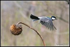 Viaaaaaaa (torben84) Tags: nature fauna fly nikon natura volo tamron avifauna parus maior decollo tamronlens cinciallegra fringuello atterraggio landig fringuelli 150600 d7200