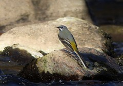 Grey Wagtail on the rocks..x (lisa@lethen) Tags: bird nature water sunshine river grey spring rocks wildlife wagtail