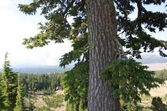Hemlock, Crater Lake, Oregon (nikname) Tags: trees oregon cascades craterlake hemlock forests forestfires stateparks craterlakenationalpark cascademountainrange oregonstateparks usanationalparks stateforests highcascades usanationalforests