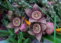 El grupo. Flor Atigrada Stapelia. (jagar41_ Juan Antonio) Tags: flores stapelia orbeavariegata