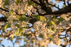 Blten einer Zierbirne in der Abendsonne - Pear blossoms in the evening sun (riesebusch) Tags: berlin garten marzahn