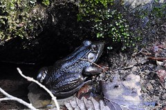 Handsome Bullfrog (--Anne--) Tags: cute nature animal animals frog frogs hibernation bullfrog bullfrogs