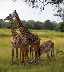 Giraffes (little_duckie) Tags: africa elephant zebra giraffe hippopotamus hyena zambia bigfive southluangwa southluangwanationalpark